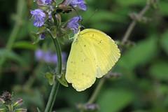 新治市民の森のキチョウ(Butterfly, Niiharu Community Woods, Yokohama, Japan)