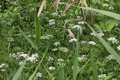 瀬上市民の森のヌマゼリ(Dropwort, Segami Community Woods)