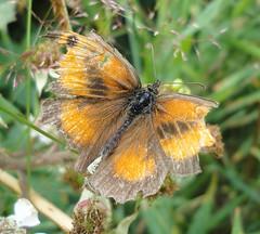 British Butterflies - Gate Keeper
