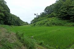新治市民の森(田んぼ)(Rice paddy, Niiharu Community Woods, Yokohama, Japan)