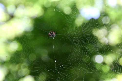 Maui Spider