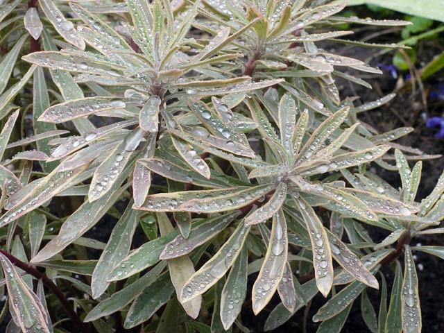 Euphorbia 'Ascot Rainbow'
