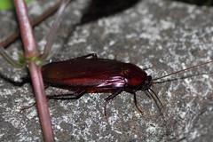 Smokybrown Cockroach (Matsudo, Chiba, Japan)