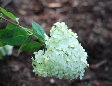 limelight hyrdrangea bloom