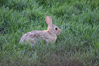 Rabbit in Backyard