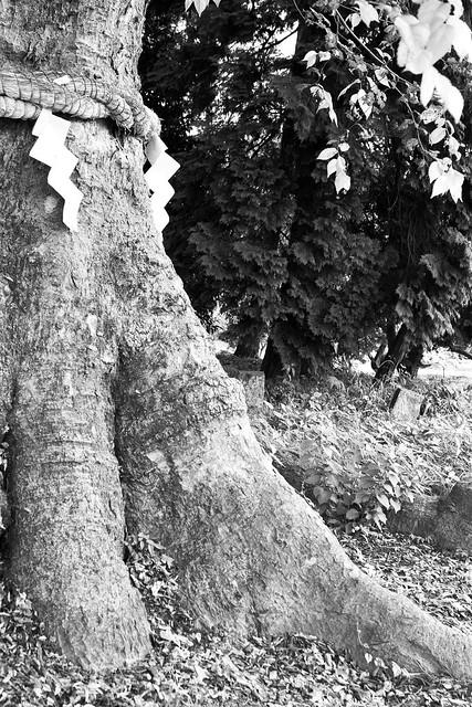 #6 The Giant Zelkovas of Chikatsu Shrine