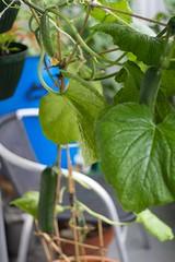 Komkommer binnen nu buiten 05-08