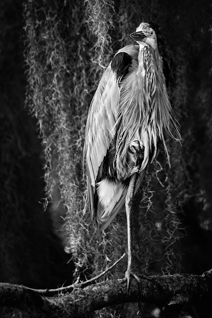 Great Blue Heron on one leg with Spanish Moss