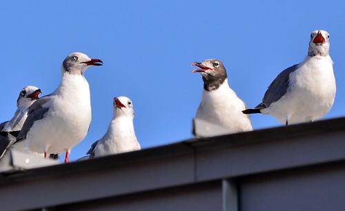 Coney Island: Gull Fest