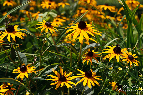 A field of black eyed susans.