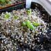Dactylopsis digitata