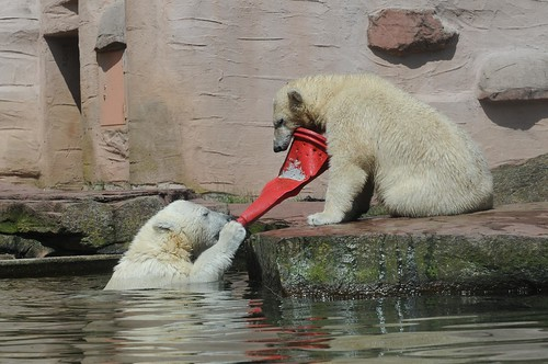 Eisbären Gregor und Aleut im Tiergarten Nürnberg