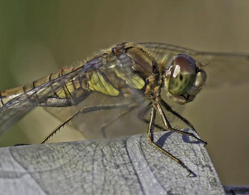 Common Darter, close up
