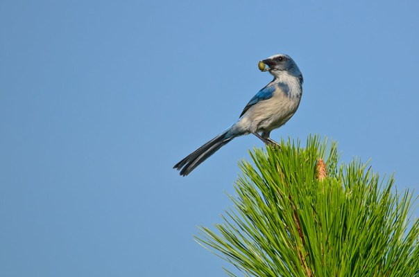 Florida Scrub Jay with berry or acorn