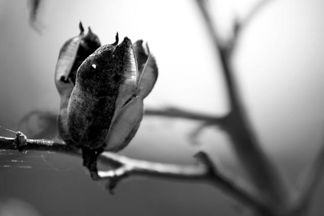 Seed Pod