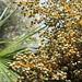 Queen Palm Berries
