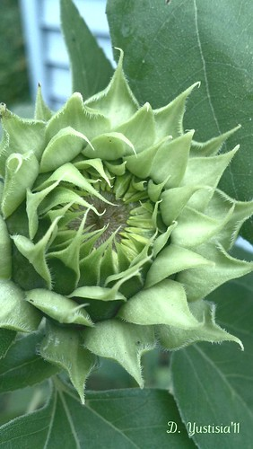 Green Sunflower
