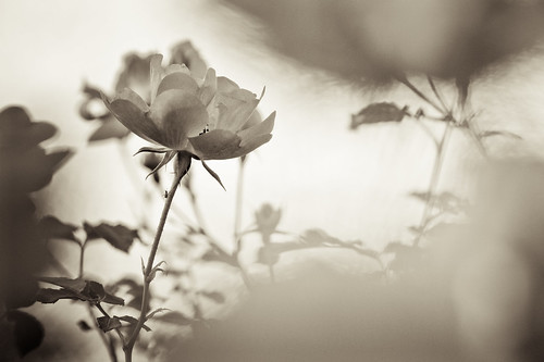 between roses
