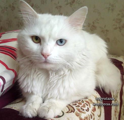 Kék és zöld: Egy felemás szemű török van cica