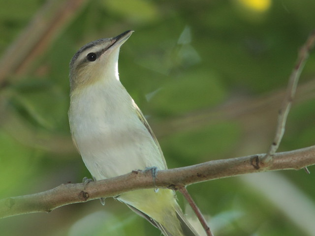 Red-eyed Vireo 3-20110914