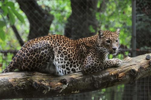 Sri-Lanka-Leopard im Tierpark CERZA in der Normandie