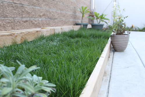 how to grow sod grass