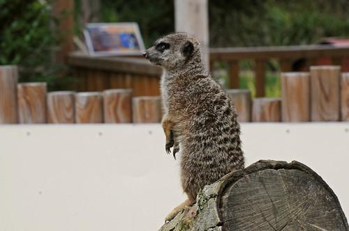 Erdmännchen im Zoo d'Amiens