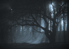 Salix nocturnae