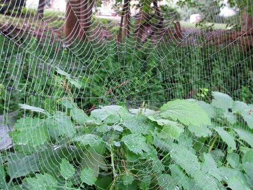 Spider web with raindrops