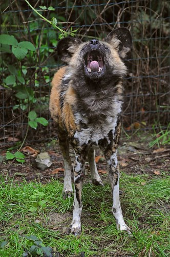 Afrikanischer Wildhund im Tierpark CERZA bei Lisieux in der Normandie
