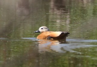 2011_09_13 LN - Ruddy Shelduck (Tadorna ferruginea) 01