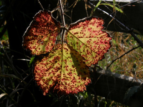 Backlit autumn bramble leaf