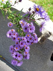 New England asters
