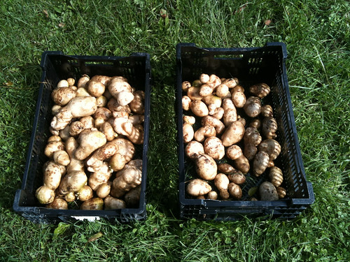 Potato harvests