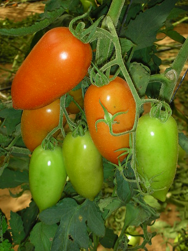 Reseraching Tomatoes in a Greenhouse