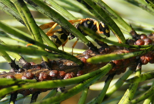 Yellowjacket with scale insects