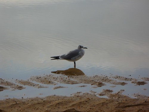 Seagull in a pool of water by rjknits