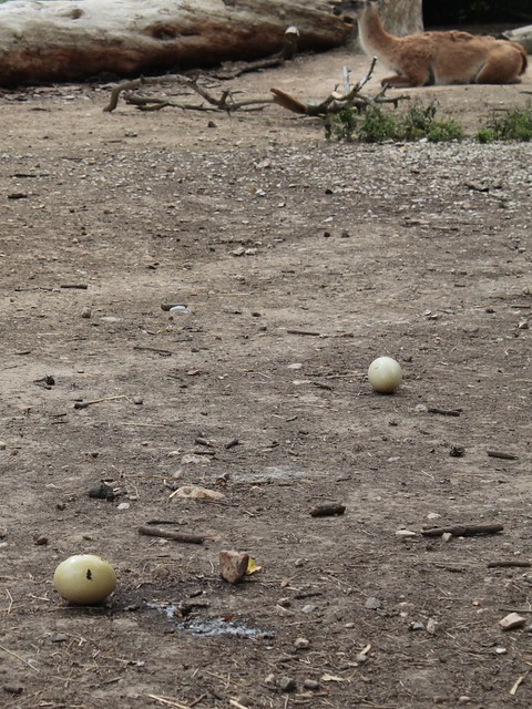 Œufs... de guanacos?