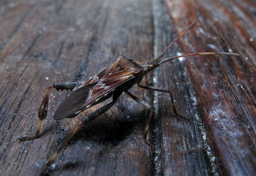 Western Conifer Seed Bug, Roof Terrace