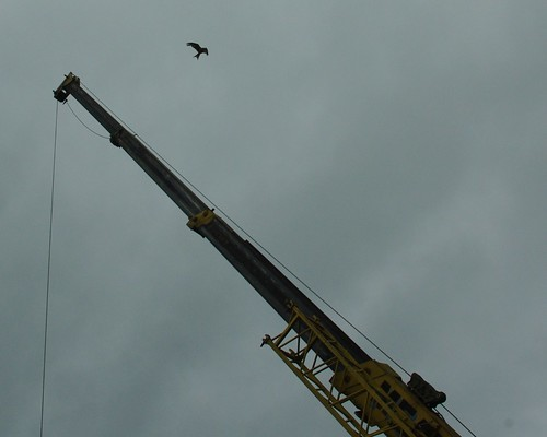 20110717-01_Red Kite and Crane - Lane End Chilterns by gary.hadden