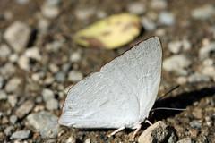 新治市民の森のウラギンシジミ(Butterfly, Niiharu Community Woods)