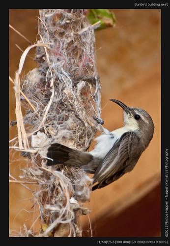 Sunbird building nest