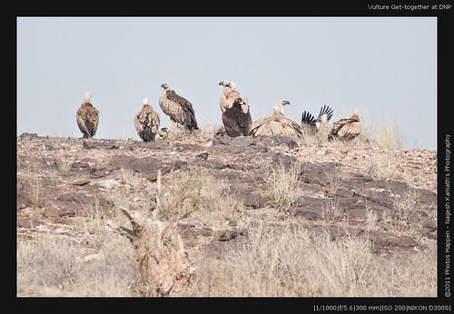 Vulture Get-together at DNP