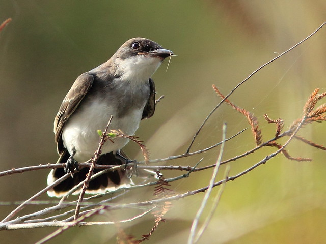 Eastern Kingbird 2-20111005