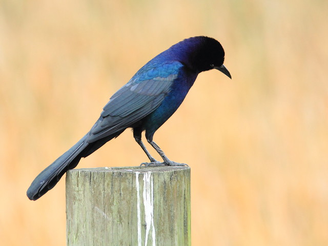 Boat-tailed Grackle 20111016