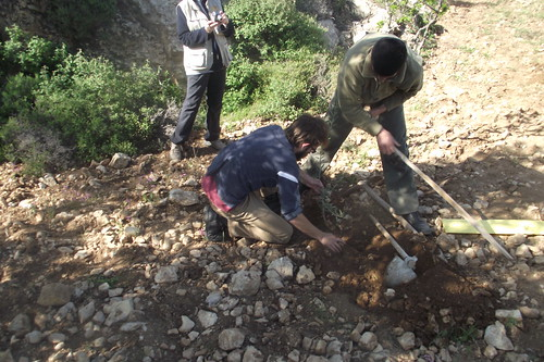 Internationals Plant Olive Trees