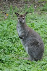 Bennet Känguru im Zoo d'Amiens