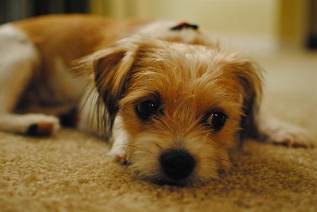 [267/365] Oliver the Dog