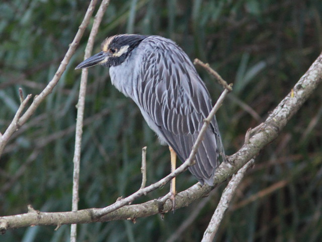 Yellow-crowned Night-Heron 20111001