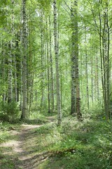 birch trees and some sunlight